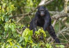 少年倭黑猩猩画象在树的在自然生态环境 免版税库存照片