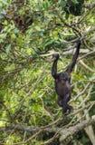 少年倭黑猩猩画象在树的在自然生态环境 免版税库存图片