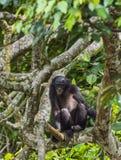 少年倭黑猩猩画象在树的 免版税图库摄影