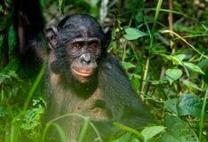 少年倭黑猩猩画象  免版税库存图片