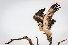 少年军事老鹰着陆 免版税图库摄影