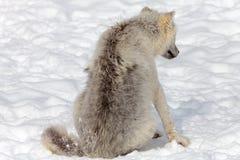 少年北极狼 库存图片