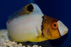 少年双色的鹦嘴鱼 图库摄影