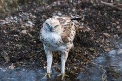 少年多变的鹰 库存照片