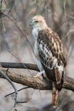 少年多变的鹰 免版税库存图片