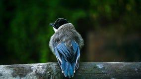 少年天蓝色飞过的鹊 免版税库存图片