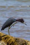 少年小的蓝色苍鹭在攻击方式下 免版税图库摄影