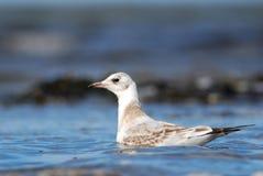 少年黑带头的鸥游泳 免版税图库摄影