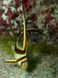 少年折刀鱼在佛罗里达群岛 图库摄影