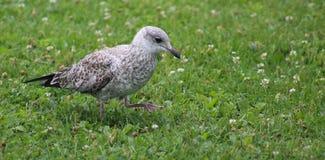 少年海鸥技巧脚趾通过三叶草 库存图片