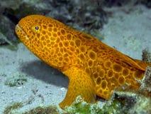 少年狼鳗鱼(Anarrhichthys ocellatus) 免版税图库摄影