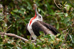 少年男性壮观的Frigatebird (Fregata magnificens)从 免版税库存图片