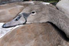 少年疣鼻天鹅小天鹅休息 库存图片