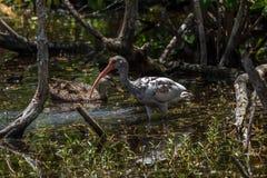 少年白色朱鹭和呈杂色的鸭子, J n 丁亲爱的Nati 库存照片