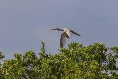 少年白色朱鹭飞行, J n 丁亲爱的全国Wildl 免版税库存图片