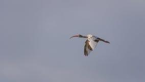 少年白色朱鹭飞行, J n 丁亲爱的全国Wildl 图库摄影
