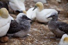 少年的gannets 免版税库存照片