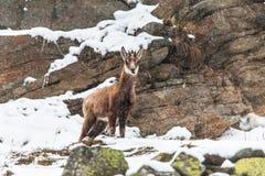 少年羚羊(Rupicapra rupicapra)在一多雪的天 免版税库存照片