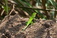 少年绿色鬣鳞蜥 库存图片