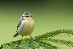 少年蓝冠山雀(Cyanistes caeruleus)。 免版税图库摄影