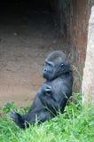 少年西部凹地大猩猩 库存照片