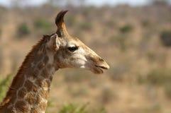 少年长颈鹿(长颈鹿camelopardalis) 免版税库存图片