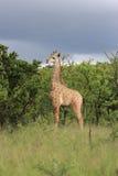 少年长颈鹿 免版税库存照片