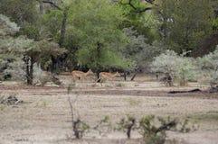 少年飞羚,塞卢斯禁猎区,坦桑尼亚 图库摄影