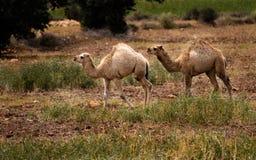 2头少年骆驼 库存照片