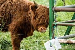 少年高地牛 免版税库存照片