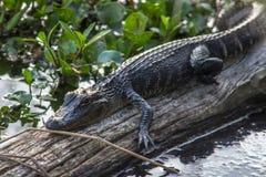 少年鳄鱼在阳光下 免版税库存图片