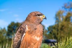 少年jackall肉食,鵟鸟rufofuscus画象,坐 库存照片