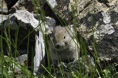 少年pika (第一公民的鼠兔属)品尝草叶与它的舌头的 库存照片