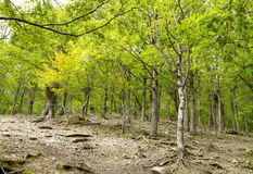 维尔京年轻山森林 免版税库存图片