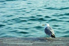 巴尔卡角海鸥 库存照片