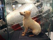 贝尔卡 其中一条狗,首先返回到地球从空间 库存图片