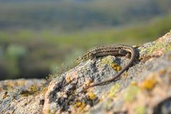 巴尔干墙壁蜥蜴(Podarcis tauricus) 免版税库存图片