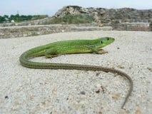 巴尔干绿蜥蜴(蝎虎座trilineata) 图库摄影