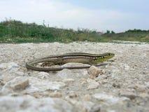 巴尔干绿蜥蜴(蝎虎座trilineata) 库存图片