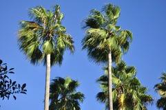 尔湾加利福尼亚棕榈树 免版税库存照片