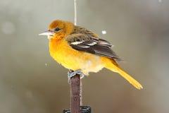 巴尔的摩金莺(黄疸galbula) 图库摄影