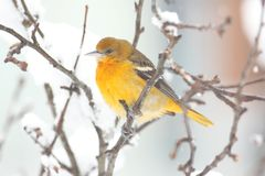 巴尔的摩galbula黄疸金莺类 库存图片