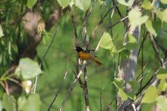 巴尔的摩galbula黄疸金莺类 库存照片