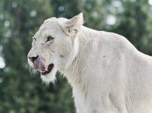 尖叫一头可怕白色的狮子的照片 免版税库存照片