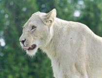 尖叫一头可怕白色的狮子的被隔绝的图象 免版税库存照片