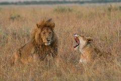 尖叫她的雌狮的伙伴 库存照片