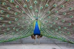 尖叫的孔雀 免版税图库摄影