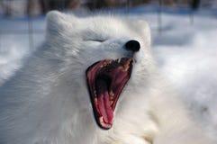尖叫的白狐 库存图片