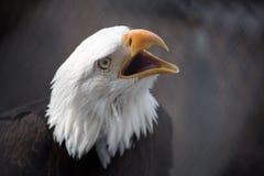 尖叫的白头鹰 库存图片