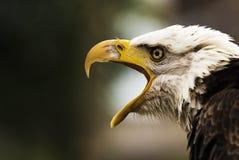 尖叫的老鹰 库存照片